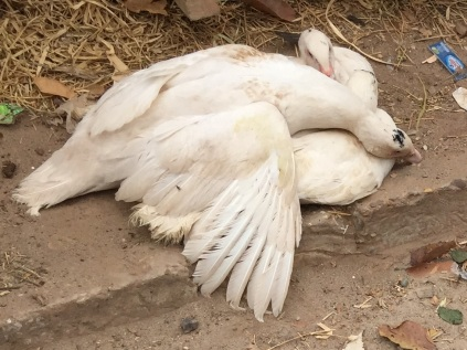 Dead geese