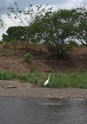 Tarcoles River cruise.Great Egret.edited